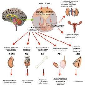 síndrome de disfunción eréctil metabólica