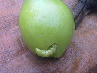 Hasil gambar untuk Ulat buah
