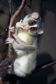 what does a slender loris eat