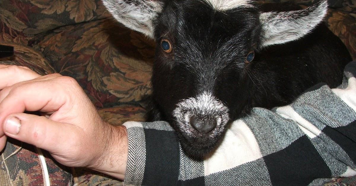 Idaho Small Goat Garden: Pygmy Goats