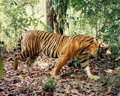 57276481 1ab209de59 Harimau Dimata Orang Mandailing