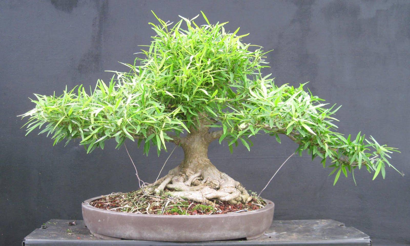 Bonsai Beginnings Willow Leaf Fig
