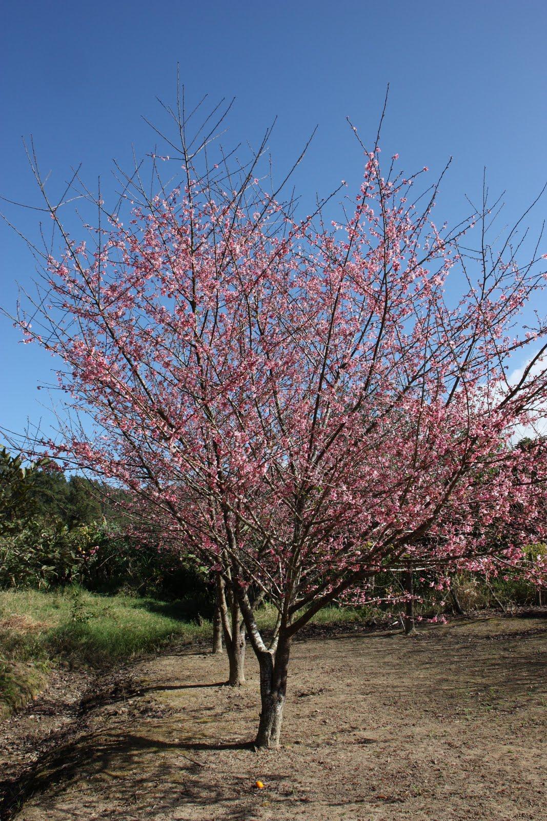 Arbol De Cerezo Japones jardinería tropical: los cerezos japoneses en constanza