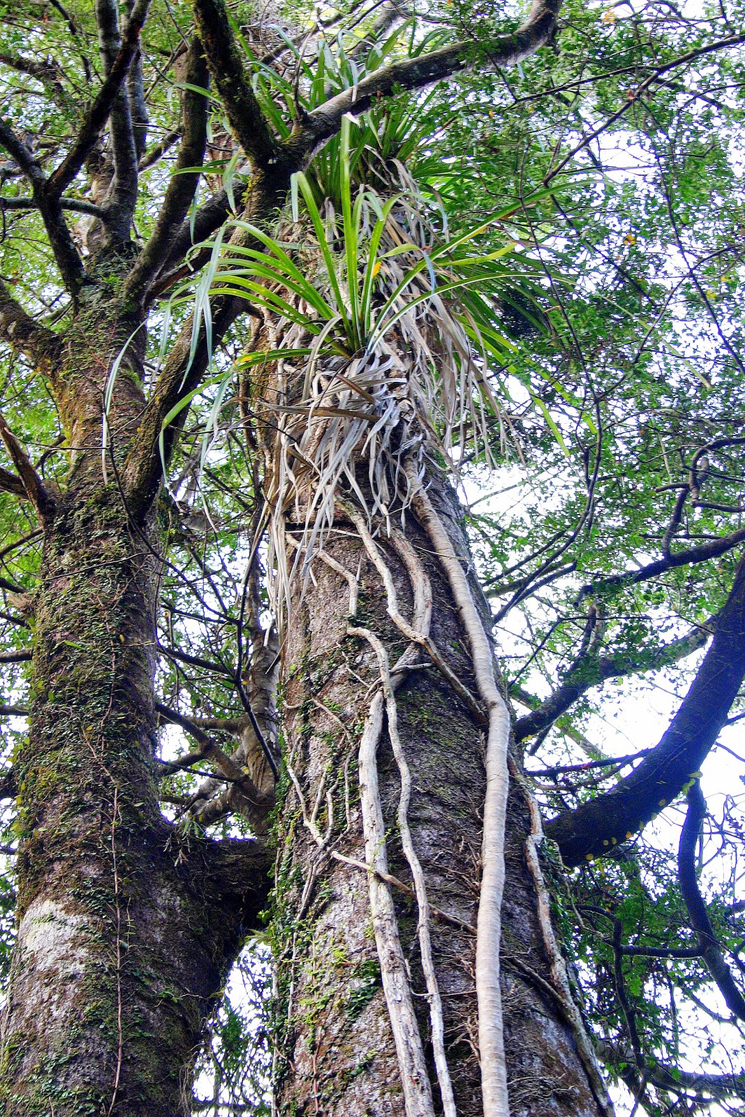 Liana A Woody Climbing Plant That Grows From The Ground