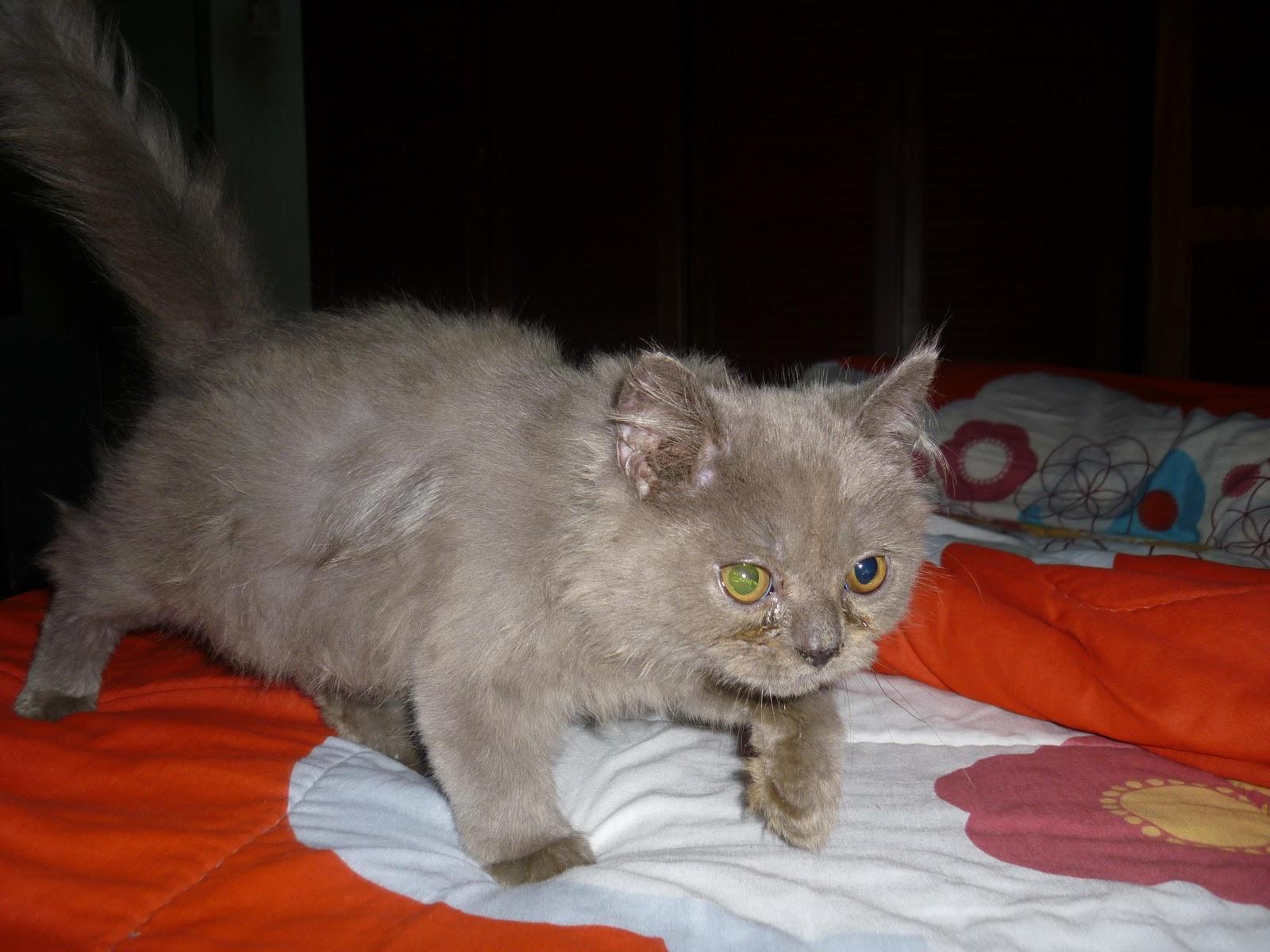 Cara Benar Memberi Makan Kucing Persia