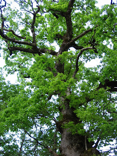 Traditions celtes : le chêne, arbre sacré 2