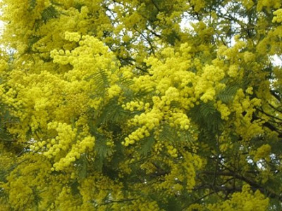 The Worlds Tree Species Silver Wattle Or Mimosa Acacia Dealbata