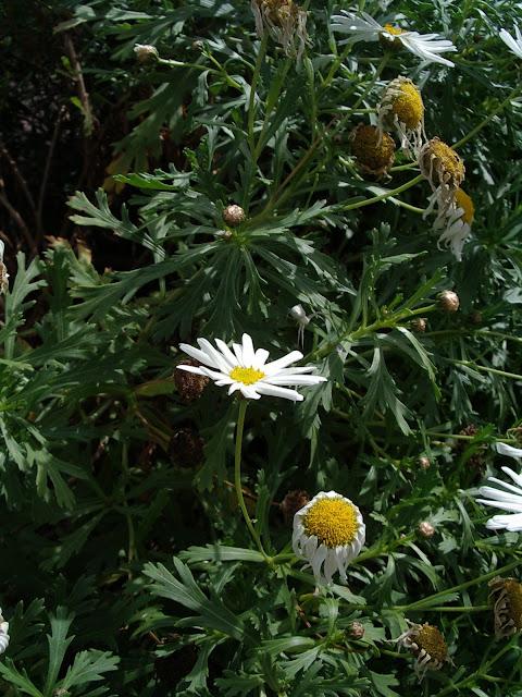 Argyranthemum winteri (JBVC)