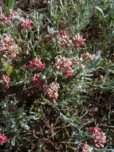 Helichrysum monogynum JBVC