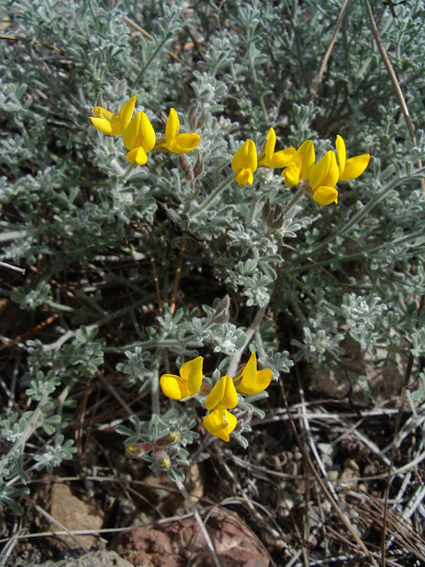 Lotus holosericeus