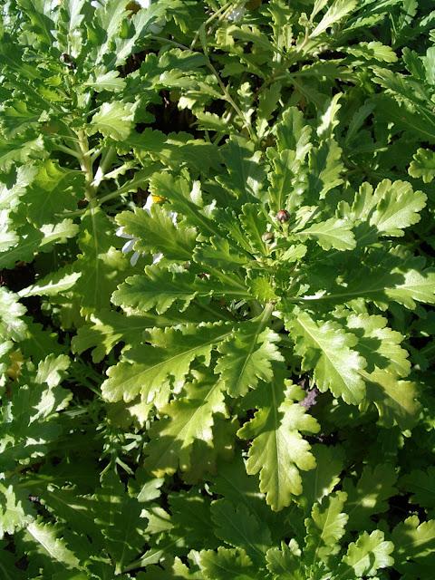 Argyranthemum pinnatifidum subsp. succulentum