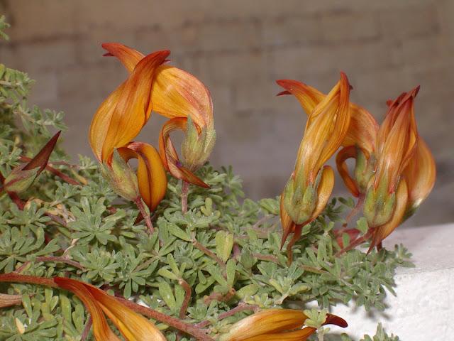 Lotus eremiticus