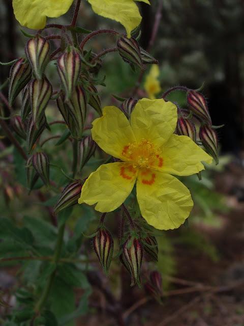 Helianthemum bystropogophyllum