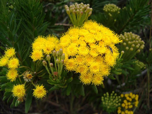 Allagopappus canariensis