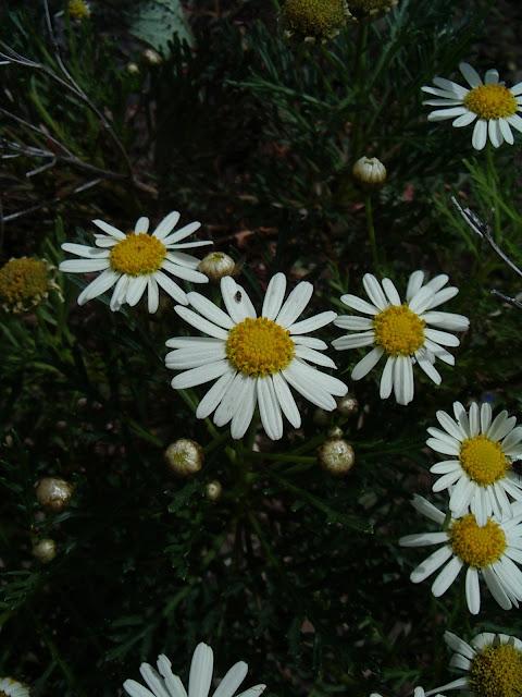 Argyranthemum callichrysum
