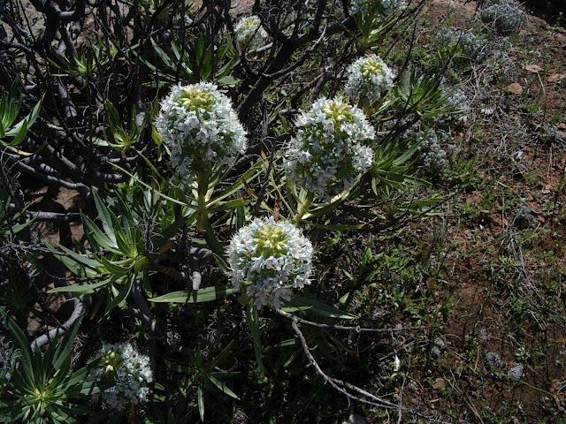 Echium decaisnei subsp. decaisnei