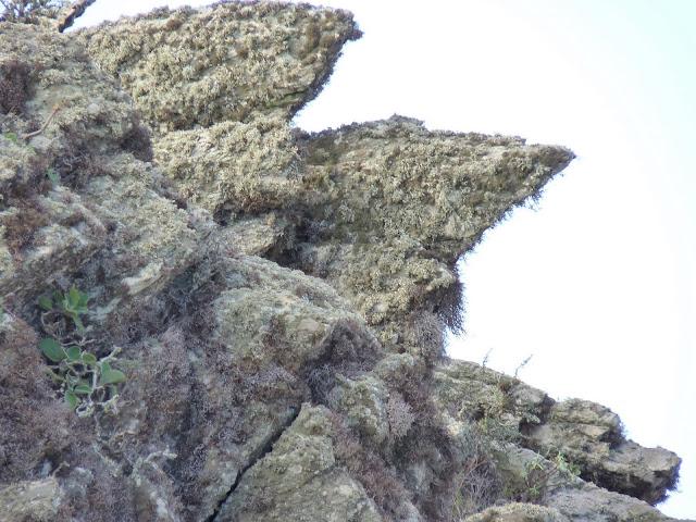 Sideritis amagroi 03