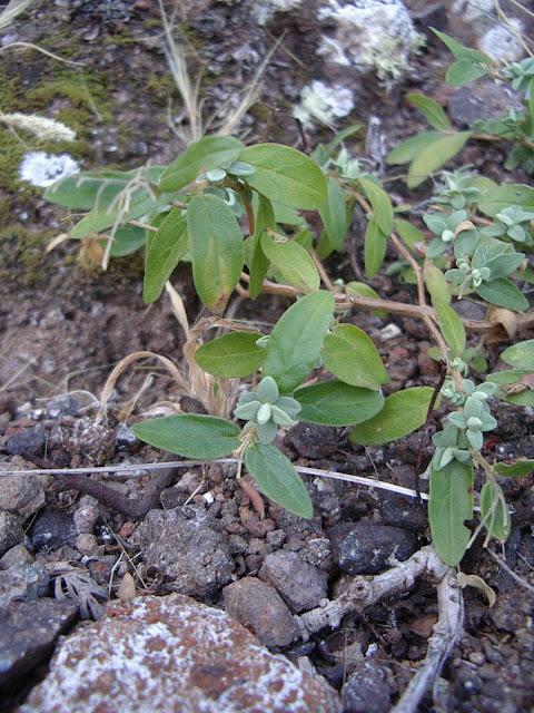 Helianthemum bramwelliorum