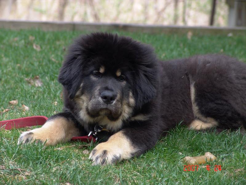 Extreme Dog Breeds Tibetan Mastiff