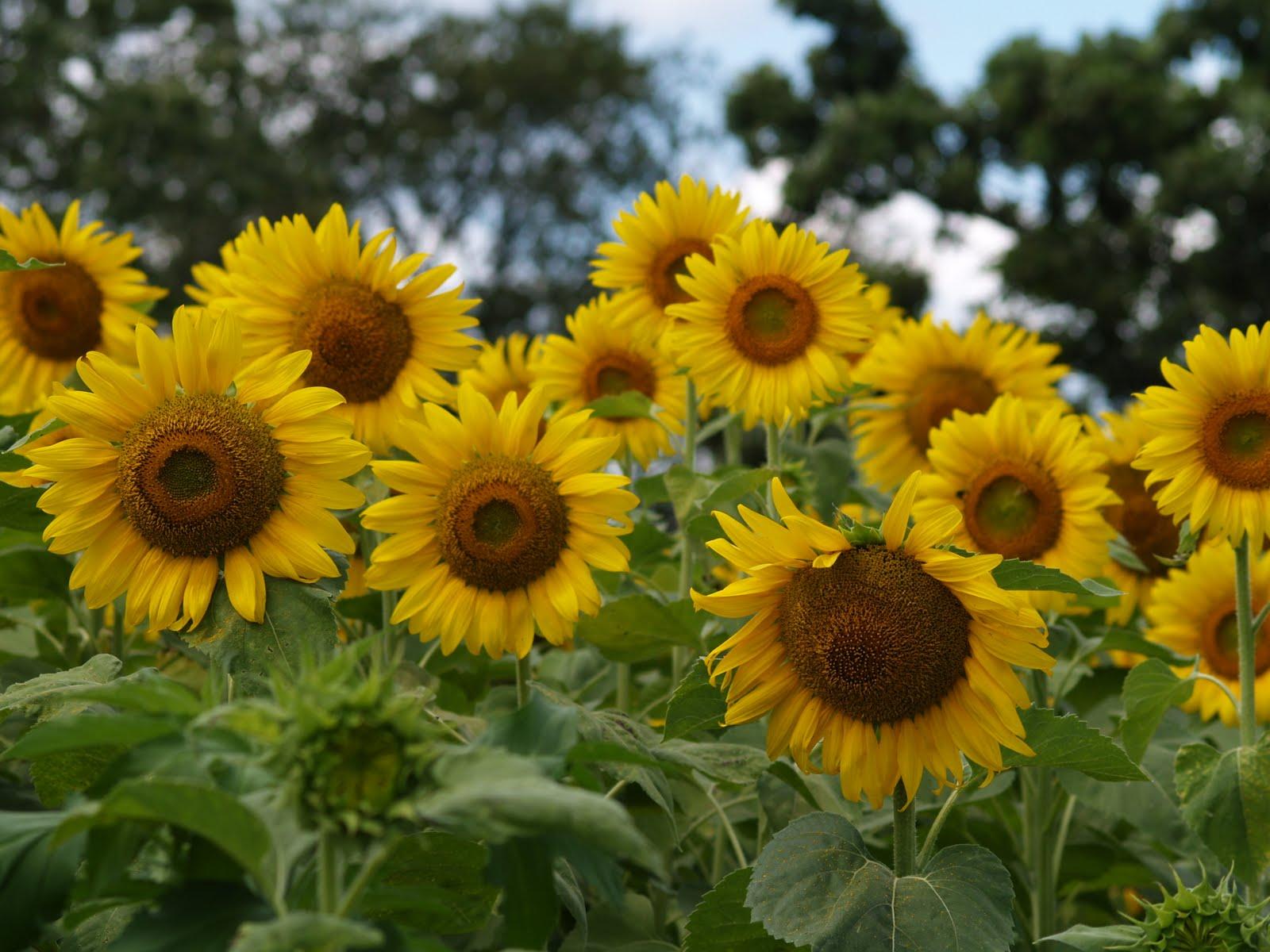 The sunflower essay example
