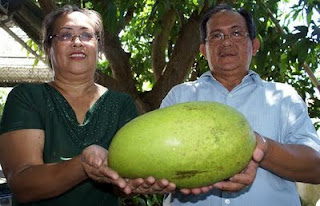 the biggest mango in the world