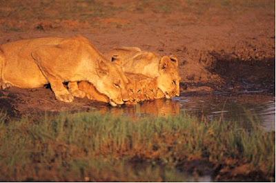 Imagenes de Felinos: leones tomando agua