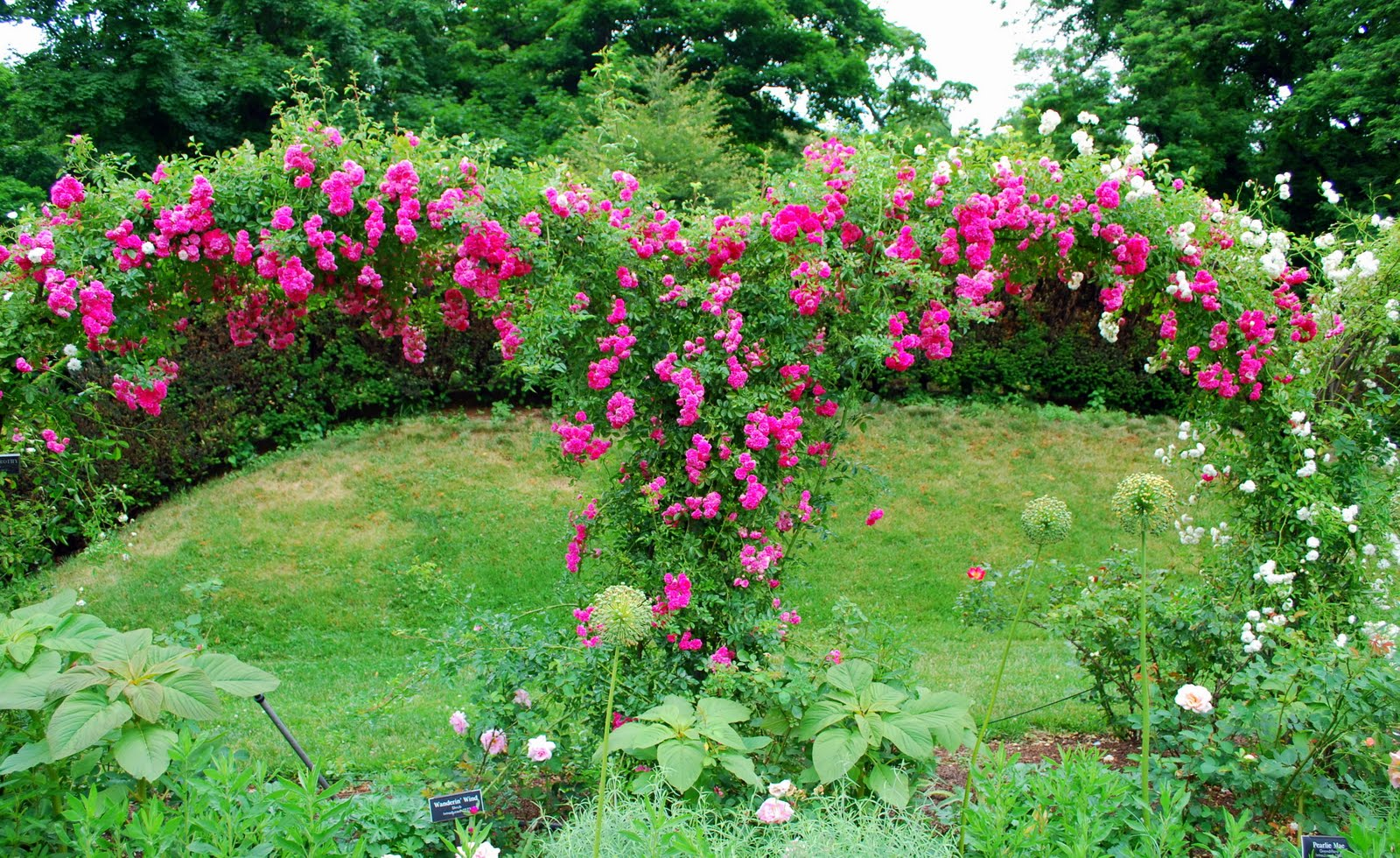 Mille Fiori Favoriti Pink Roses in the Cranford Rose Garden