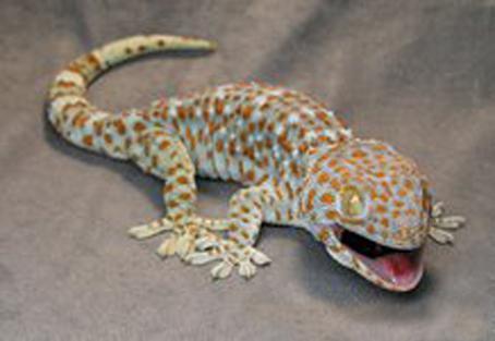 Makanan Cicak Gecko