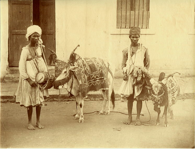 Two street performers with drum an small adorned bullocks  - 1880's