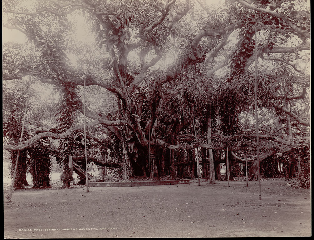 Great Banyan Tree at Botanical Gardens in Howrah