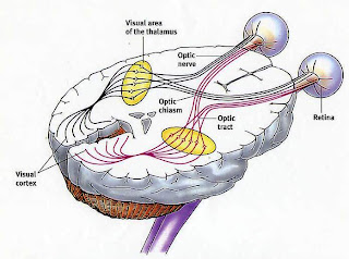 Visual pathway in human brain. The retina of each eye is vertically split. The two right half-retinas are wired to the right visual cortex.  The two left half-retinas are wired to the left visual cortex.