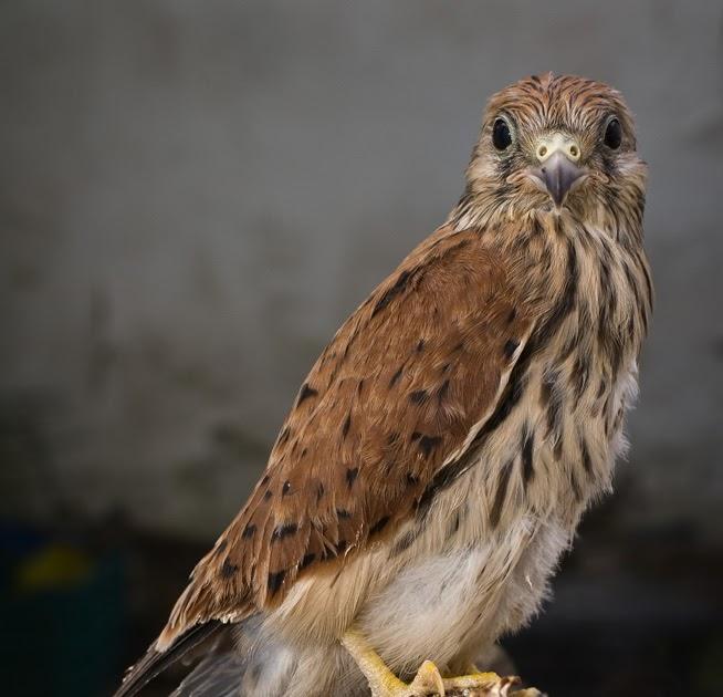 El Cazador Del Tiempo: Cernícalo Primilla (Falco Naumanni