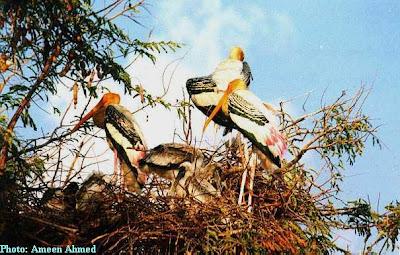 Painted storks nesting inside Kaggaladu, Sira Taluk, Tumkur District