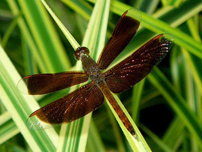 Dragonfly, Neurothemis fluctuans