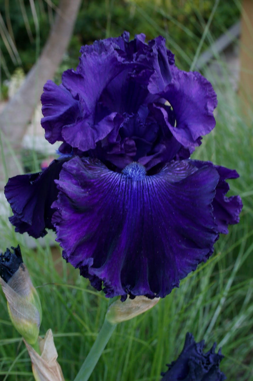 Do Iris Plants Need Sun-6063