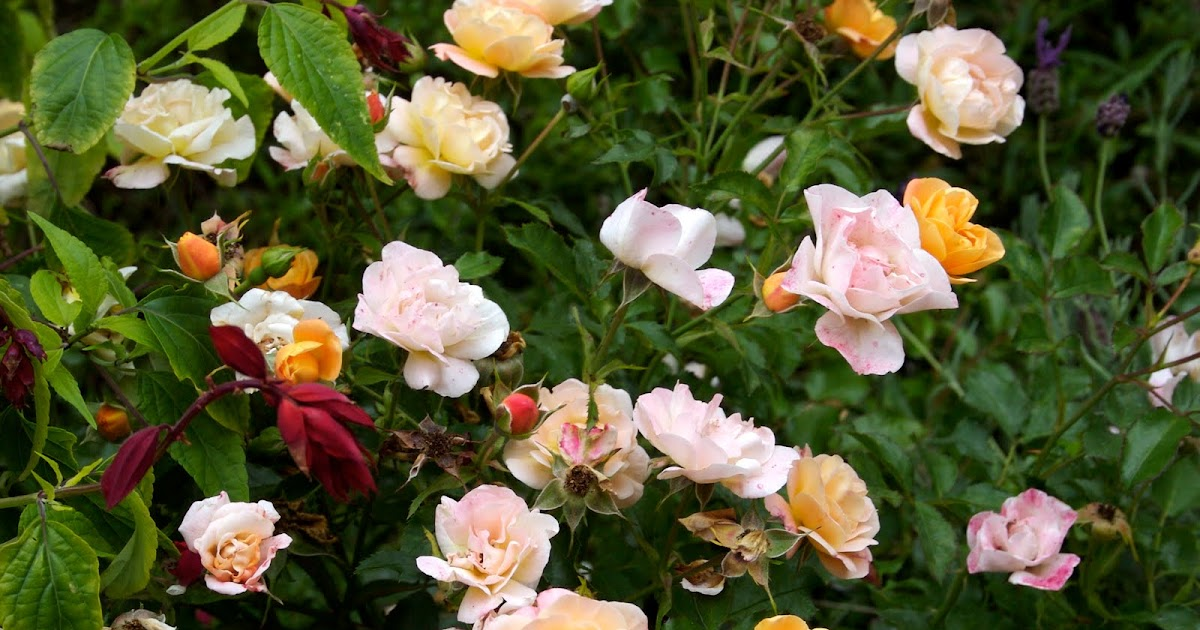 Roses In Garden: The Gardens Of Petersonville: Amber Flower Carpet Rose