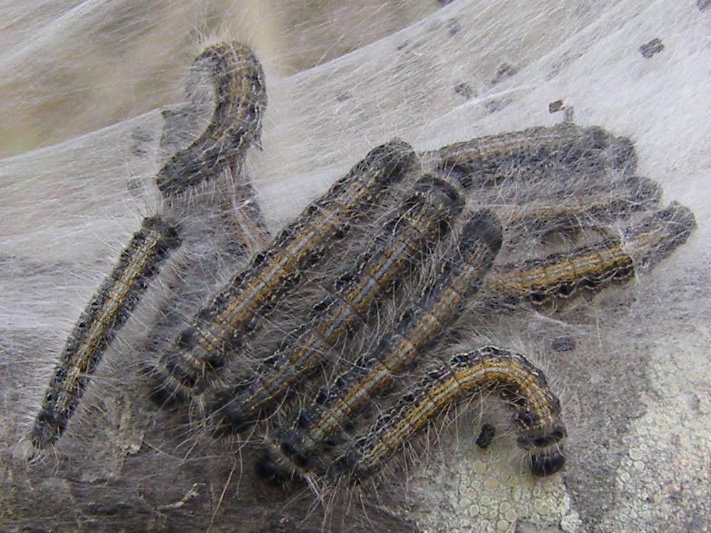 Eastern Tent Caterpillars & Blue Jay Barrens: Eastern Tent Caterpillars