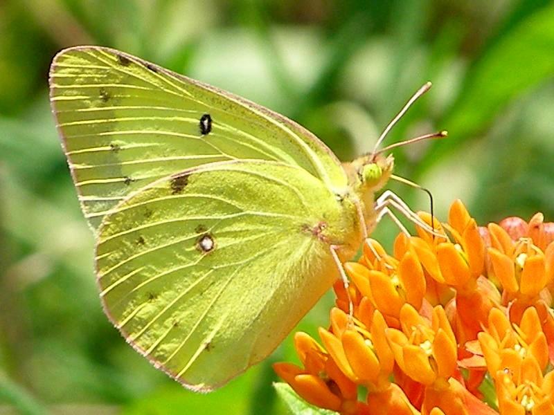 Blue Jay Barrens: Clouded Sulphur Butterflies |Clouded Sulphur Butterfly