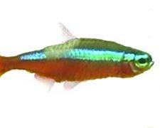 Neon Tetra Disease, Pleistophora hyphessobryconis