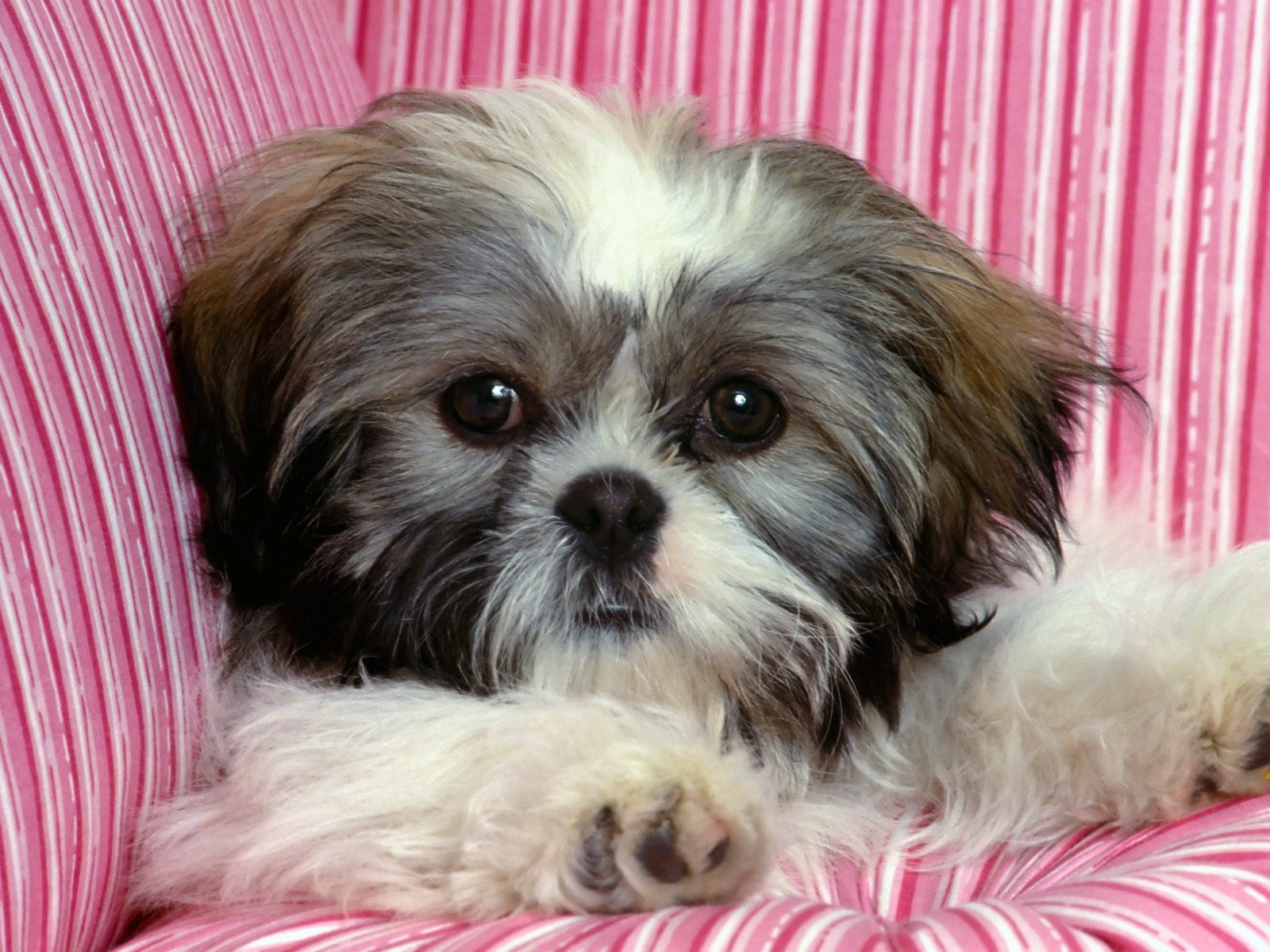 all about shih tzu centro pet shih tzu 5192