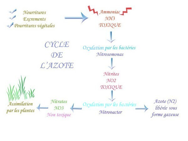 microbiologie cycle de l 39 azote. Black Bedroom Furniture Sets. Home Design Ideas