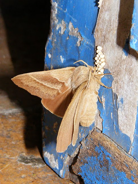 Fox moth Macrothylacia rubi ovipositing on a door. Indre et Loire. France. Photo by Loire Valley Time Travel.