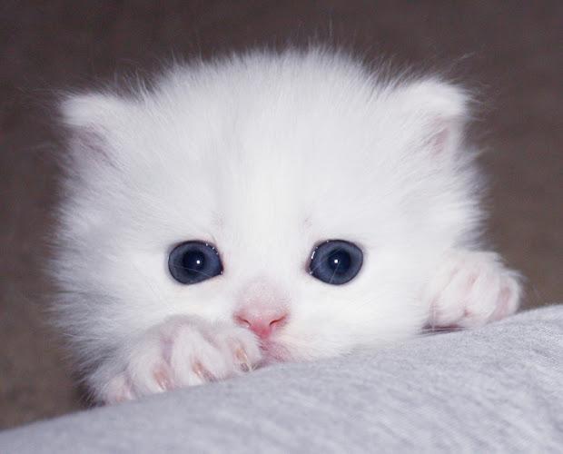 Teacup Kittens Persian - Year of Clean Water