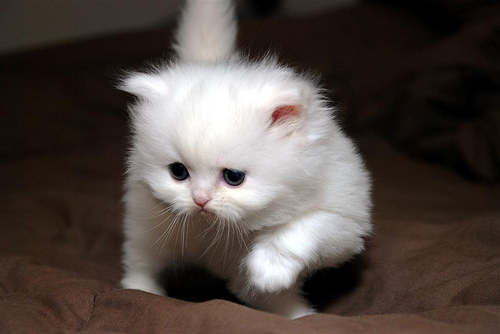 Teacup Persian Kittens | Doll Face Persian Kittens | Pet Gallery
