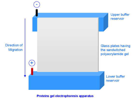 MolecularHUB: SDS-PAGE: Principle and Procedure