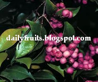 lilly pilly, fruits and health