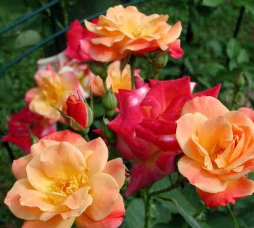flowers: Joseph-Coat-Climbing-Rose