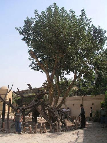 Egypt Cradle Of Civilization The Virgin Mary Tree