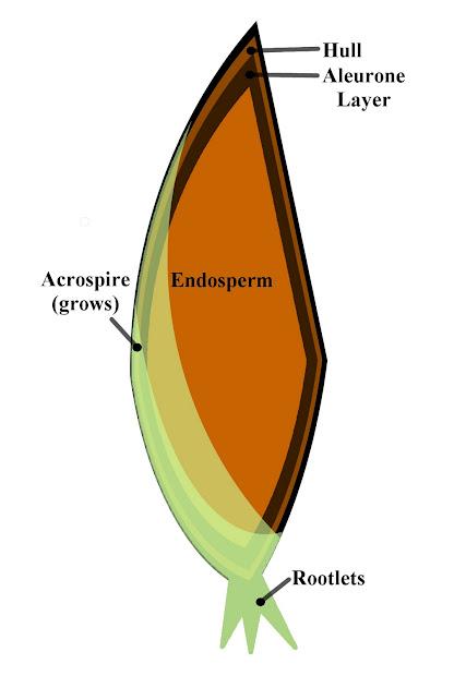 Barley Seed Diagram