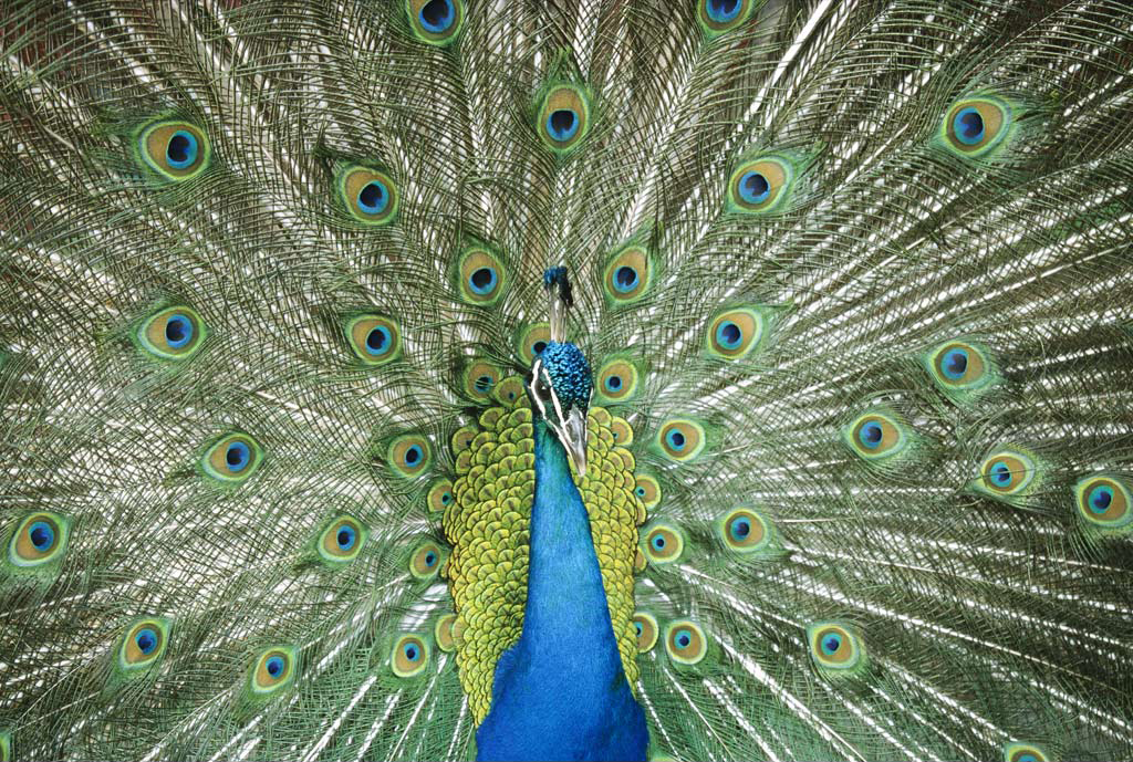 Peacock Art Photography Wallpaper Hq Backgrounds: AASAI FM: Peacock HQ Wallpapers
